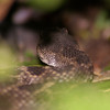 504-Terry-Rattlesnake hiding in the bush