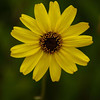 508-Terry-Sunflower with very shallow depth of field