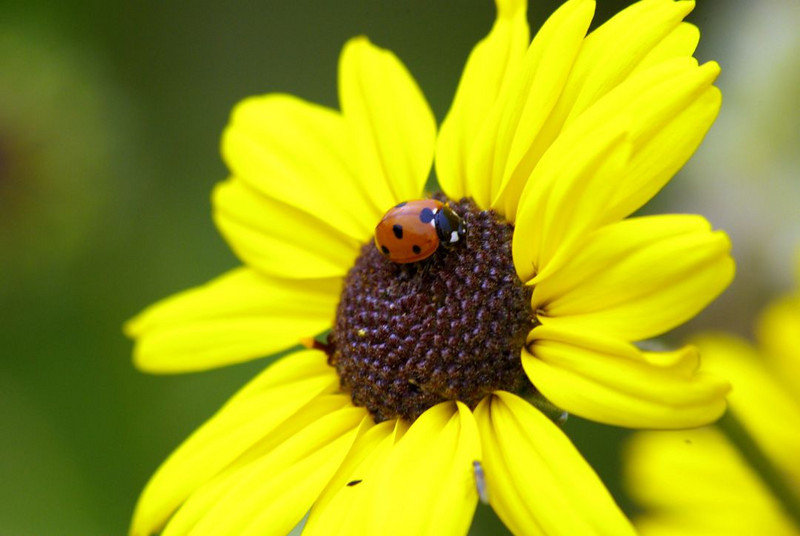 502-Terry-Ladybug enjoys the sunflower, excellent focusing