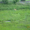 Deer in drainage area