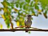 Colibri d'Helen (le plus petit oiseau au monde!)