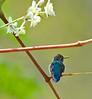 Colibri d'Helen (le plus petit oiseau au monde!) -- c'est du pollen sur son bec.