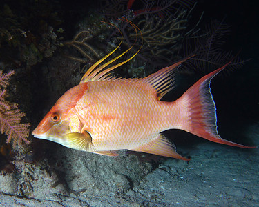 Female Hogfish