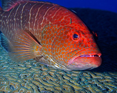 Tiger Grouper