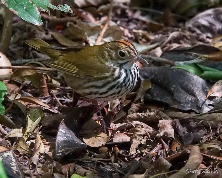 Ovenbird in Cuba