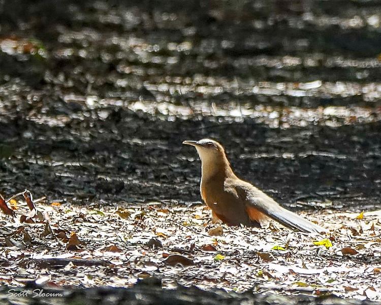 Along the forest trail near Playa Larga, Cuba this mangrove cuckoo found a spot