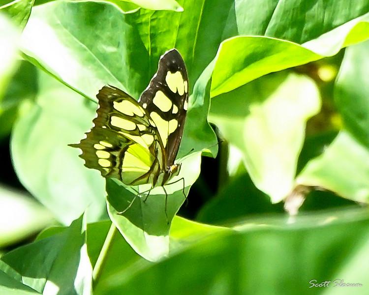 Cuban Malachite Butterfly