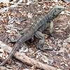 Iguana Trail