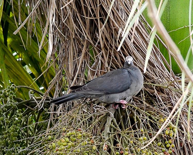 Gray-headed Quail Dove