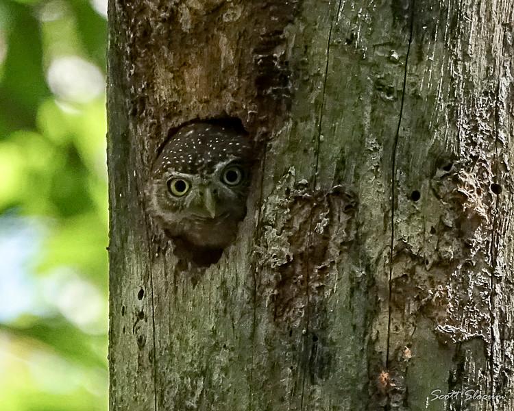 Cuban Pygmy Owl in Nest