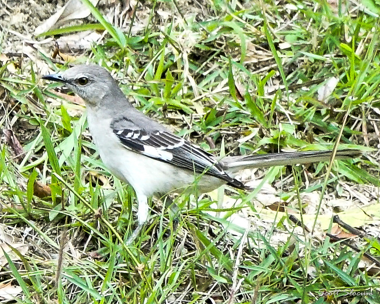 Northern Mockingbird Down South in Cuba