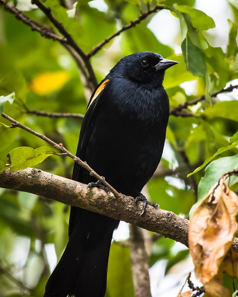 Tawney-shouldered Blackbird, and endemic