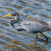 Tricolored Heron on a hunt 1