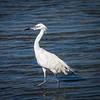 Reddish Egret white phase