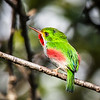 Cuban Tody! An endemic