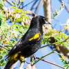 Cuban Oriole, male, endemic