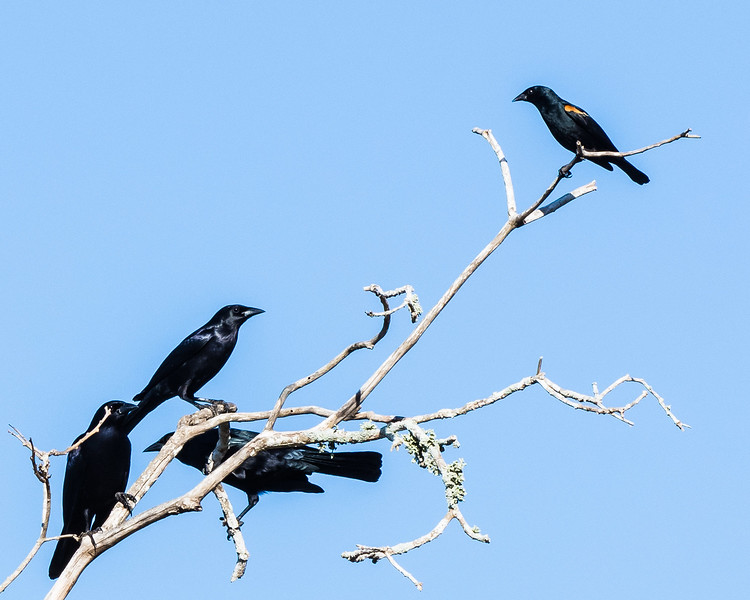 Cuban Blackbirds (endemic) with a single Tawny-shouldered Blackbird (endemic)
