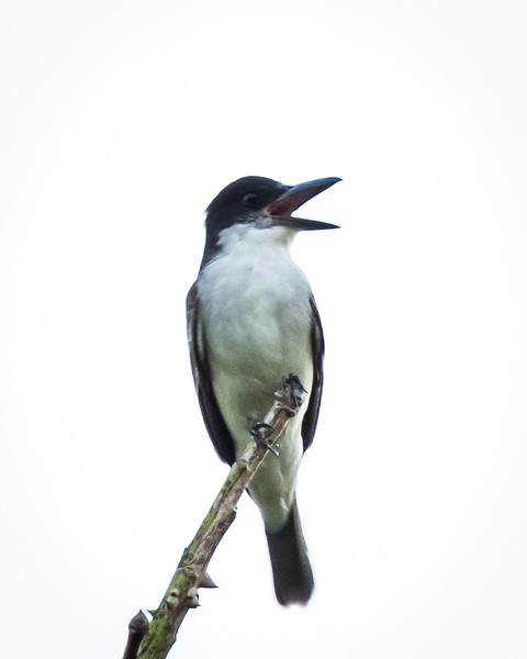Giant Kingbird, near endemic