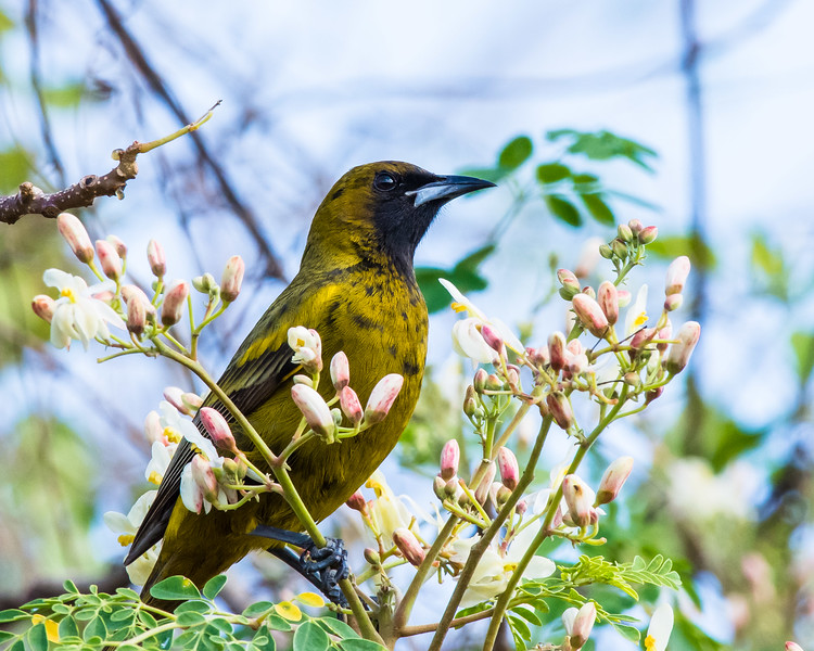 Cuban Oriole, immature (or female??), endemic