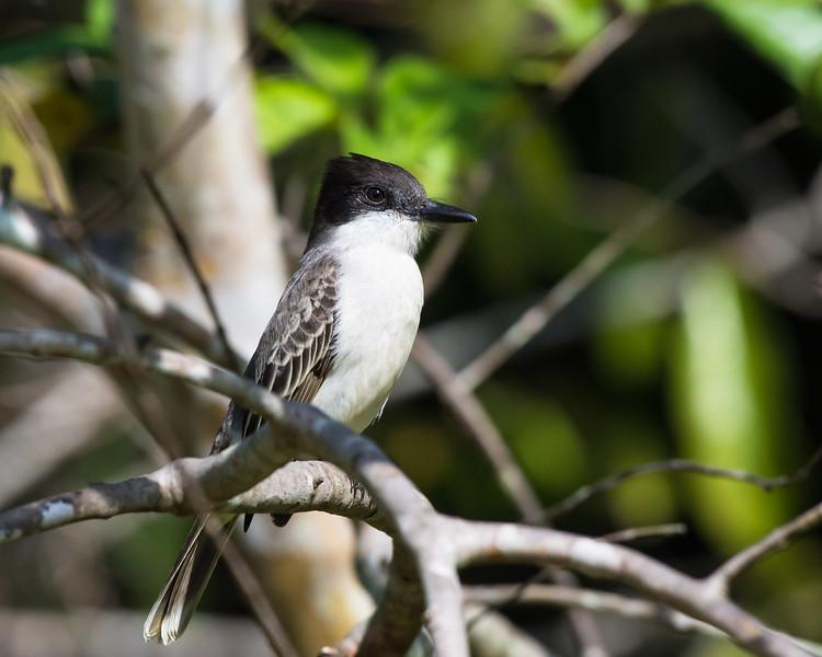 Loggerhead Kingbird, a near-endemic species