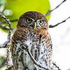 Cuban Pygmy Owl, endemic