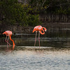 Greater Flamingos with terrible light