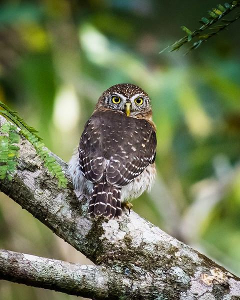 Cuban Pygmy Owl, an endemic