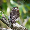 Cuban Pygmy Owl, an endemic