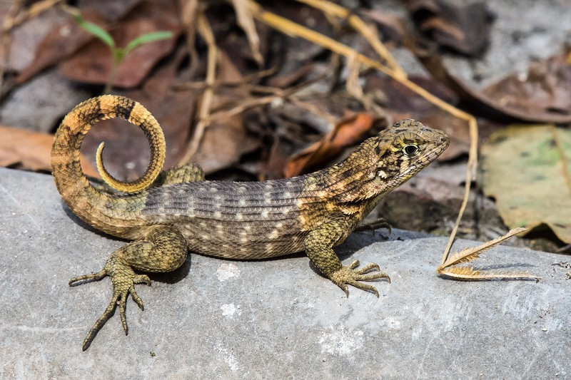 A Cuban Curly-tailed Lizard posing