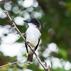 Giant Kingbird, near endemic