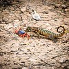 Yikes, this is really out of focus, but it was cool to see this lizard investigating a Mangrove Crab