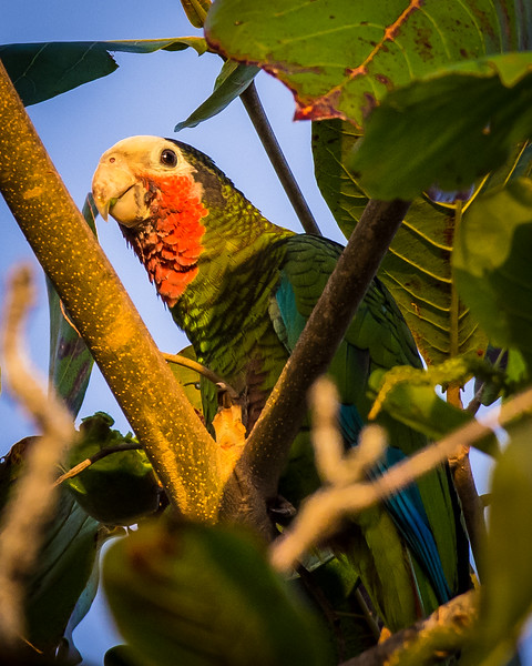 Cuban Amazon, a near endemic parrot