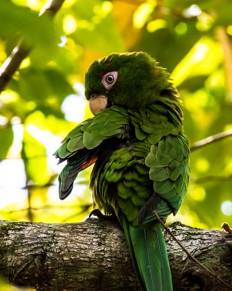 Cuban Parakeets, endemic