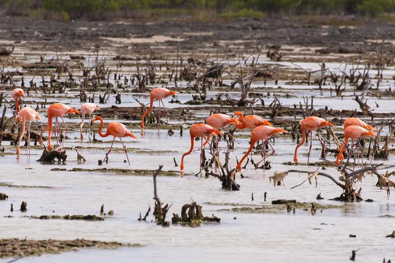American (Caribbean) Flamingo