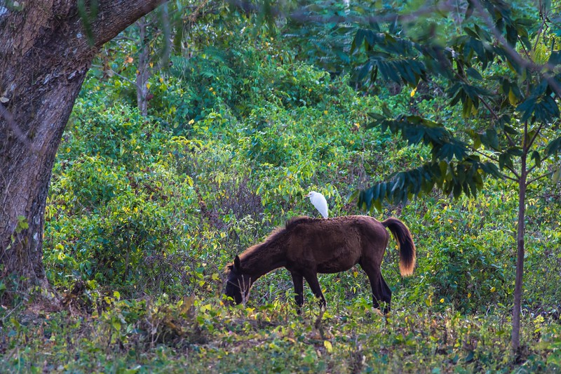 Cattle Egret letting a horse do the work