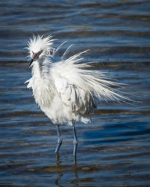 Reddish Egret, white phase, with his feathers bent out of shape