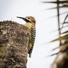 Fernandina's Woodpecker, an endemic