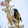 Cuban Oriole, an endemic species