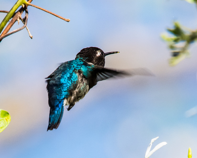 The tiny Bee Hummingbird