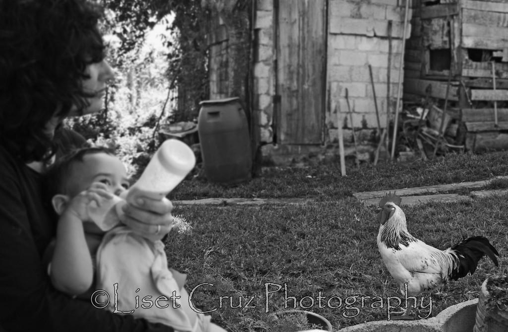 el gallo, el pomo de leche