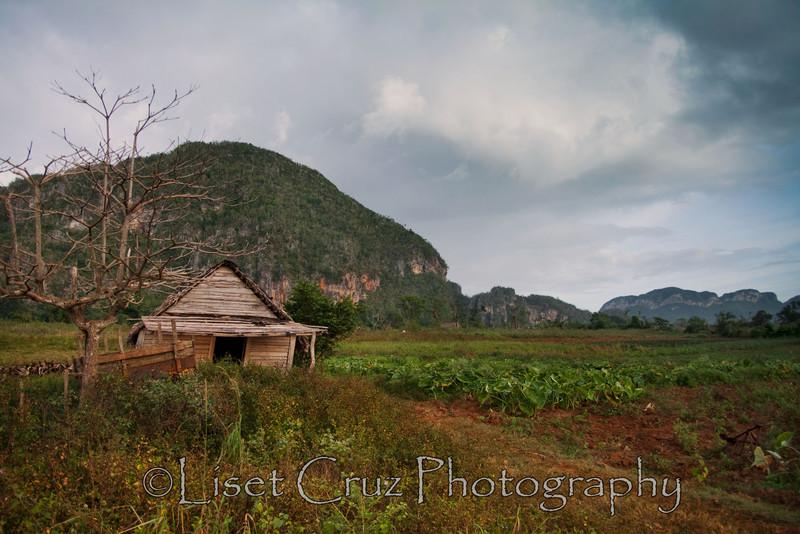 A malanga field in Viñales, Pinar del Rio, Cuba.