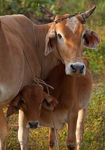Cows in Viñales, Pinar del Rio, Cuba.