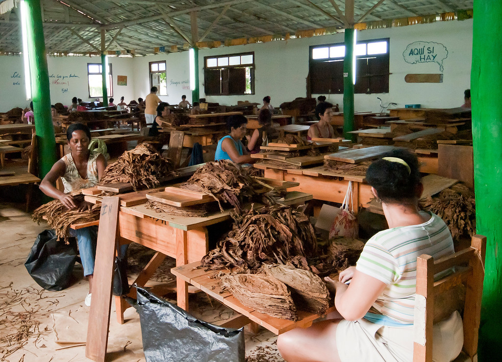 Preparing leaves for cigars