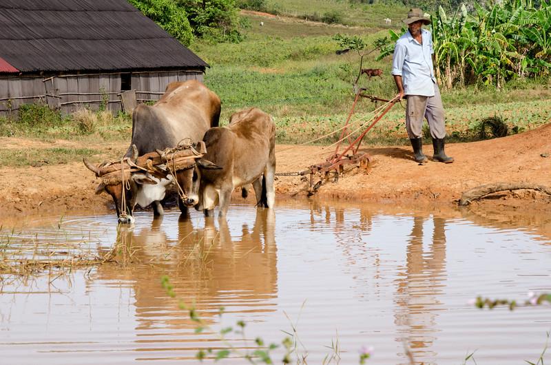 campesino&oxen.jpg