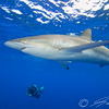 Silky shark and diver