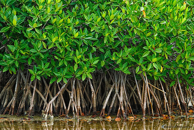 Mangroves on Cayo Guillermo, Cuba