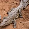 Crocodile Cuba