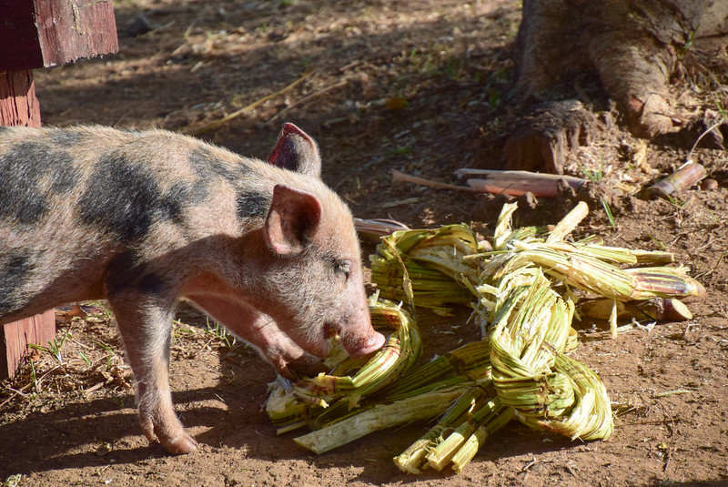 Pigs enjoy the leftover cane stalks.