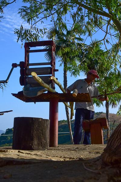 Preparing sugar cane stalks before running through the press.