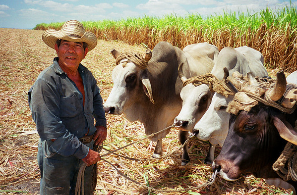 A herdsman with his cattle in Cuba.